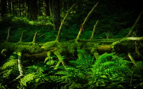 Picture forest, branches, tree, thickets, spruce, snag, log, fern, pine, deadwood