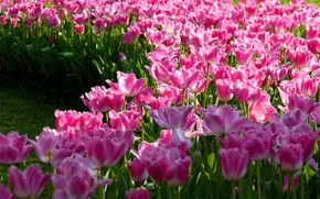 Picture field, flowers, spring, tulips, pink, flowerbed, a lot