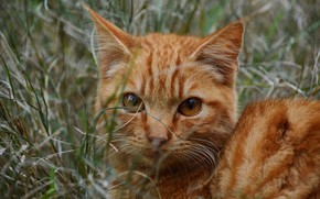 Picture cat, grass, cat, look, face, kitty, portrait, red, kitty, striped, teen, red eyes
