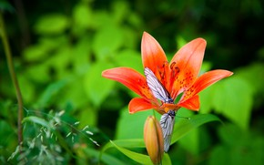 Picture flower, summer, macro, butterfly, Lily, garden