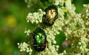 Picture macro, flowers, insects, background, beetle, green, pair, bugs, white, two, bokeh, brantovka Golden, two beetle