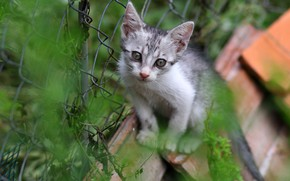 Picture cat, summer, grass, eyes, look, pose, kitty, mesh, Board, the fence, baby, kitty, sitting, striped, …