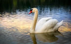Picture white, water, nature, bird, Swan, pond, swimming