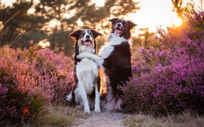 Picture forest, language, dogs, the sun, light, flowers, pose, Park, two, paw, pair, pink, friends, path, …