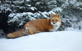 Picture winter, snow, Fox, beauty, red