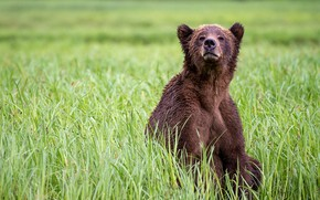 Picture grass, look, nature, pose, glade, bear, bear, sitting, brown