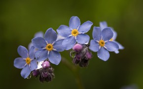 Picture macro, Rosa, background, Forget-me-nots