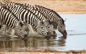 Picture shore, drink, pond, muzzle, the herd, Zebra
