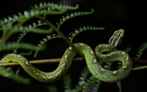 Picture leaves, pose, snake, stem, black background, green, fern, reptile, spotted