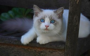 Picture cat, look, muzzle, kitty, blue eyes, Ragdoll