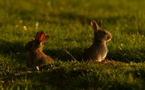 Picture grass, light, glade, rabbit, rabbits, Bunny, cubs, bunnies