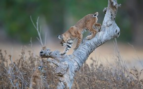 Picture snag, wild cats, lynx