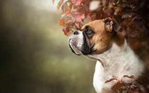 Picture face, rain, portrait, dog, profile, bokeh, Boxer, listia