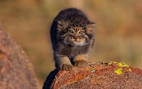 Picture cat, nature, stones, kitty, background, small, baby, kitty, wild cats, face, cub, manul