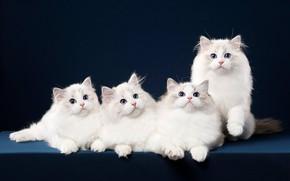 Picture cat, look, blue, pose, background, muzzle, kittens, white, Quartet, Studio, ragdoll