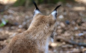 Picture lynx, the back of the head, from the back, blur bokeh