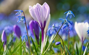 Picture flowers, glade, spring, blue, crocuses, lilac, bokeh, Scilla