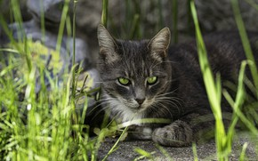 Picture cat, grass, cat, look, face, nature, grey, background, portrait, lies, green eyes, smoky