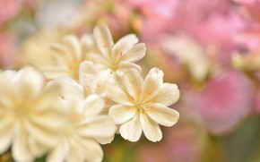 Picture flowers, tenderness, blur, cream