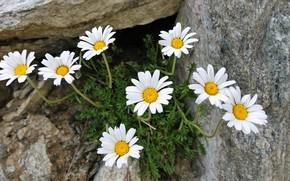 Picture flowers, stones, chamomile, white, Bush