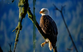 Picture branches, background, bird, Bald eagle