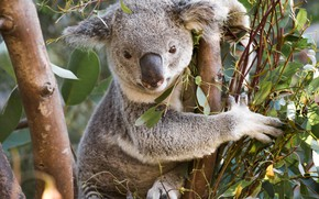Picture tree, Koala, eucalyptus