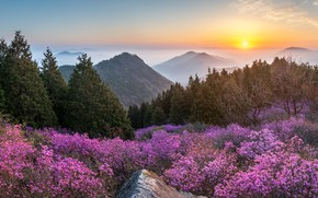 Picture landscape, sunset, mountains, nature, spring, flowering, forest, shrubs