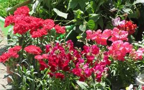 Picture Flowers, Snapdragons, Meduzanol ©, Summer 2018