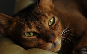 Picture cat, eyes, cat, look, face, close-up, portrait, lies, Kote, green-eyed, handsome, the Abyssinian, Abyssinian