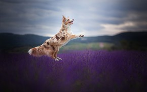 Picture field, joy, jump, dog, lavender, The border collie