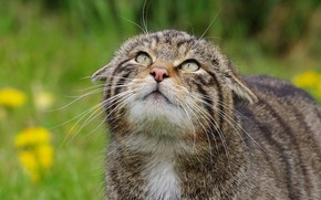 Picture cat, cat, face, grey, striped, wild, forest, wild cat, looking up