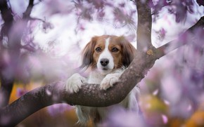 Picture dream, face, flowers, nature, pose, background, tree, lilac, portrait, dog, branch, spring, paws, petals, garden, …