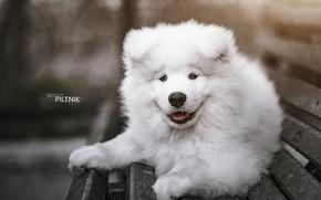 Picture dog, Samoyed, Sergey Piltnik