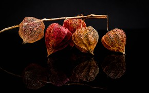 Picture reflection, branch, fruit, dry, black background, physalis, composition, boxes