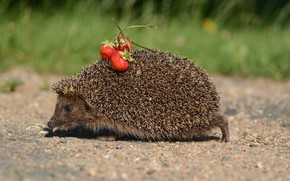 Picture tongue, hedgehog, runs, strawberry on the back