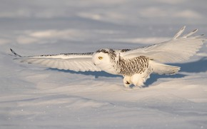 Picture winter, snow, flight, wings, the scope, snowy owl