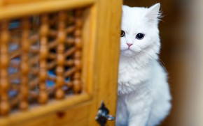 Picture cat, white, look, kitty, background, eyes, blur, the door, muzzle, hide and seek, white, kitty, …
