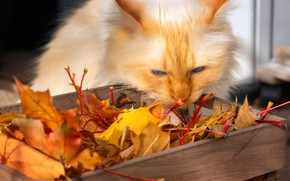 Picture autumn, cat, cat, look, face, leaves, light, pose, foliage, yellow, red, box, maple, autumn leaves