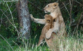 Picture pose, tree, foliage, baby, lions, lioness, mom, lion
