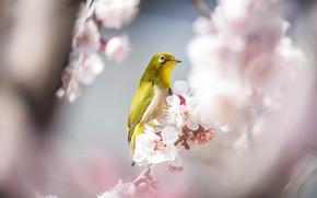 Picture light, flowers, branches, bird, beauty, blur, spring, Sakura, white, bird, flowering, yellow, bokeh, Japanese white-eye