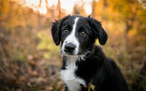 Picture autumn, forest, look, light, nature, pose, Park, background, black and white, portrait, dog, baby, cute, …