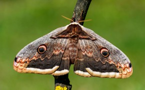 Picture macro, green, background, pattern, butterfly, branch, insect, wings, hairy, Emperor moth, gray with brown