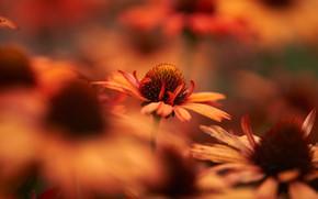 Picture flowers, blur, garden, orange, bokeh, rudbeckia