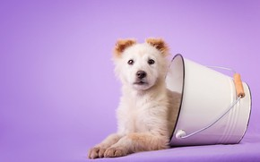 Picture white, look, dog, baby, bucket, puppy, lies, bucket, lilac background