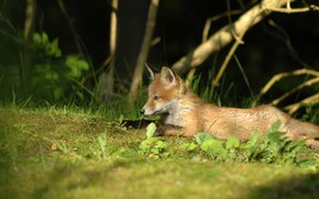 Picture the edge of the forest, lying on the grass, Fox