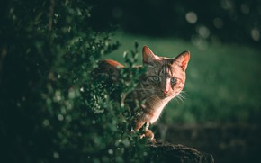 Picture greens, cat, cat, look, red, muzzle, the bushes, cat