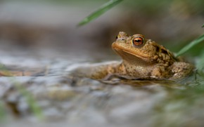Picture look, water, frog, blur, toad, pond, bokeh