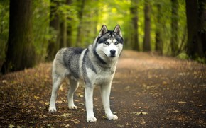 Picture road, autumn, forest, look, face, leaves, nature, Park, dog, green background, husky, bokeh, Siberian husky