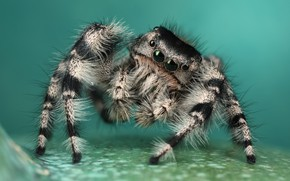 Picture eyes, look, macro, surface, pose, background, legs, spider, hairy, striped, turquoise, jumper, jumper, spider, sakunik, …