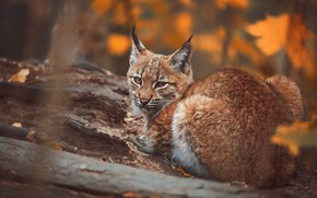 Picture autumn, look, face, branches, nature, pose, bark, lynx, autumn leaves